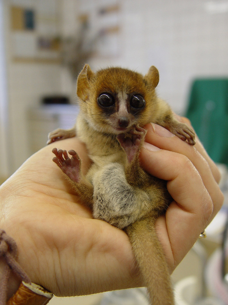 this is one of the most adorable animals i have seen lemurs are